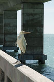 Great white heron on a bridge Stock Images