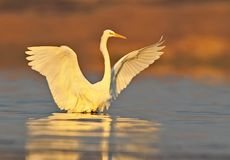 Great white heron close up. In red morning light Stock Photography