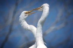 Great Egret pair Stock Photo