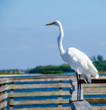 Great White Heron on the dock Stock Photo