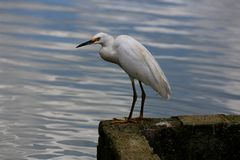 Great white heron Royalty Free Stock Image