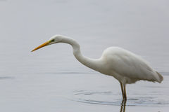 Great White Heron (Egretta Alba) Royalty Free Stock Photos