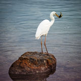 Great white heron with fish Stock Photos