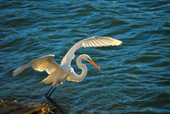 Great White Heron Fishing, Florida. The great white heron is a common sight along the Gulf coast standing in shallow water. The heron is a large elegant bird and Royalty Free Stock Image