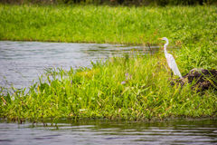 Great white Heron fishing in the low lake waters Stock Image