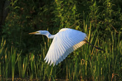 Great white heron flies on green background Stock Photography