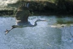 Great white Heron in flight, Assateague National Wildlife Refuge, MD Royalty Free Stock Image