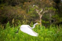 Great White Heron Flight Stock Photos