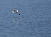 Great white heron flying. Over the lake Stock Photo