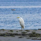 Great white heron or Great egret, Ardea alba, close-up portrait at sea shore with bokeh background, selective focus Stock Image