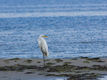 Great white heron or Great egret, Ardea alba, close-up portrait at sea shore with bokeh background, selective focus. Shallow DOF Royalty Free Stock Image