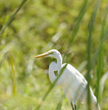 Great White Heron Stock Photos