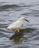 Great white heron inside the river waters Stock Photo