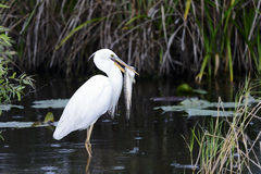 Great white heron (a.k.a. great blue heron) Royalty Free Stock Photography