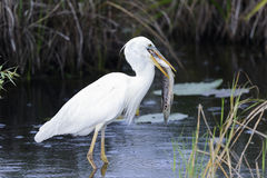 Great white heron (a.k.a. great blue heron). Everglades, florida Stock Images