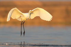 Great white heron landing on the water early morning Stock Photos