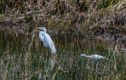 A great white heron with a little blue heron Stock Photography