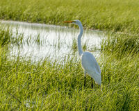 Great White Heron. White heron in the local marsh hunting for dinner Royalty Free Stock Images