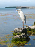 Great white heron overlooking water Royalty Free Stock Images