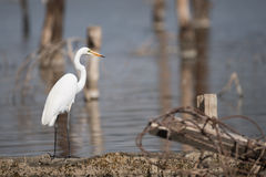 Great white heron in profile beside water Stock Photo