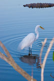 Great White heron in reflection with ripples in water Royalty Free Stock Photo