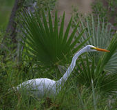 Great white heron. In the river shore Stock Photo