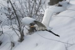 Great white heron in white snow wind during cold winter. Wildlife scene from nature. Snow storm with bird. Heron with snow in the nature habitat. Cold snowy Royalty Free Stock Image