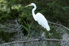 Great white heron standing on a dead tree branch. A great white heron is standing on a dead, fallen tree branch with green trees behind him Stock Photo