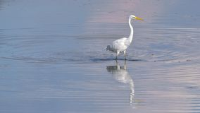 Great white heron standing in the lake stock photo