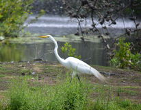 Great White Heron Stock Image