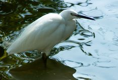 Great white heron in water stock images