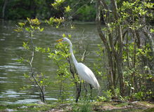 Great White Heron Royalty Free Stock Photography