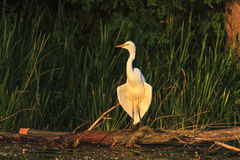 Great white heron wings dry in the sun rising Stock Images