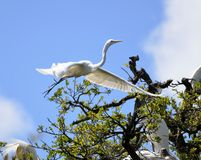 Great white herons in treetop Royalty Free Stock Photo