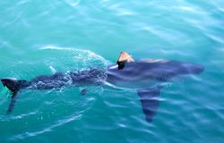 Great White Near Surface Royalty Free Stock Photo