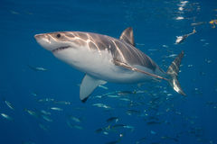 Great white near surface stock photography