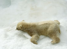 Great white north bear. Russian nature, wilderness world royalty free stock photography