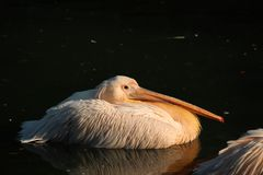 Free Great White Or Eastern White Pelican, Rosy Pelican Or White Pelican Is A Bird In The Pelican Family.It Breeds From Southeastern Stock Images - 161039454