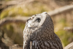 Great white owl Royalty Free Stock Image