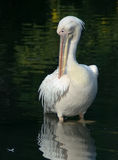 Great white pelican. Beautiful white pelican looking in the water royalty free stock photo