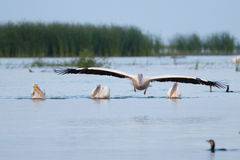 Great White Pelican. In flight over water Royalty Free Stock Photos