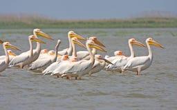 Great white pelican. (pelecanus onocrotalus) flock standing in water Stock Photos