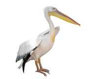 Great White Pelican. (Pelecanus onocrotalus) isolated on white background Royalty Free Stock Photography