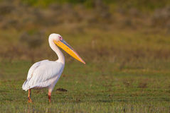 The Great White Pelican stock photos