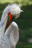 Great White Pelican. (Pelecanus onocrotalus). Head detail Royalty Free Stock Photos