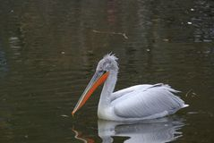 Great White Pelican 3 Royalty Free Stock Images