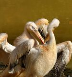 Great White Pelican. (Pelecanus onocrotalus) also known as the Eastern White Pelican, Rosy Pelican or White Pelican is a bird in the pelican family Stock Photography