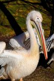 Great White Pelican. (Pelecanus onocrotalus) also known as the Eastern White Pelican, Rosy Pelican or White Pelican is a bird in the pelican family Stock Photos