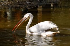 Great White Pelican. (Pelecanus onocrotalus) also known as the Eastern White Pelican, Rosy Pelican or White Pelican is a bird in the pelican family Royalty Free Stock Photo