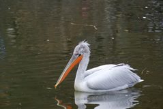 Great White Pelican 4 Royalty Free Stock Photo